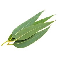 eucalyptus perfume ingredient