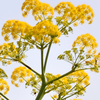 galbanum perfume ingredient