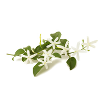 jasmine grandiflorum perfume ingredient