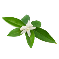 neroli perfume ingredient