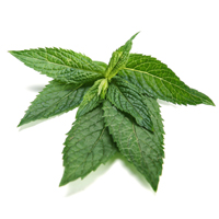 peppermint perfume ingredient