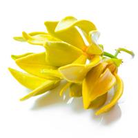 ylang ylang perfume ingredient